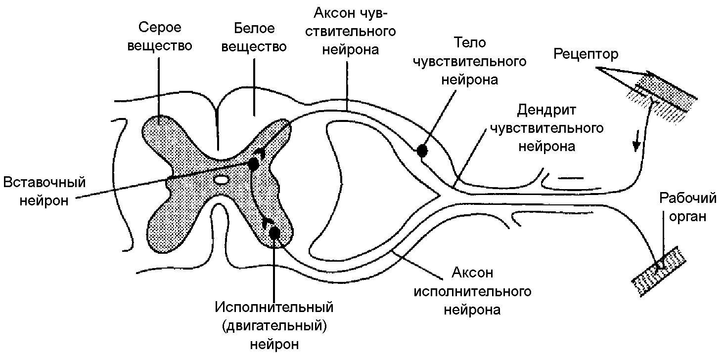 Рефлекторная дуга безусловного рефлекса схема 916