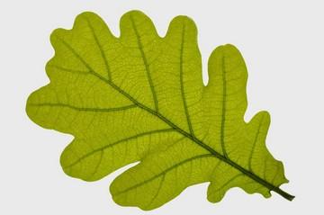 Лист дуба