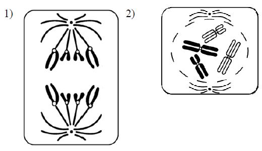 Анафаза и профаза митоза