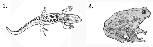 Ящерица и лягушка