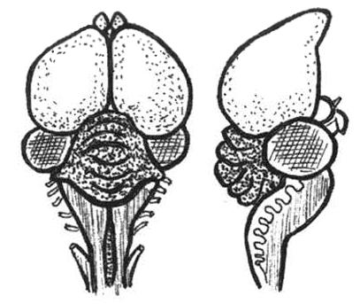 Мозг птицы