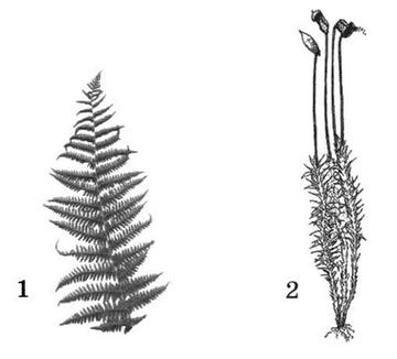 Папоротник и мох