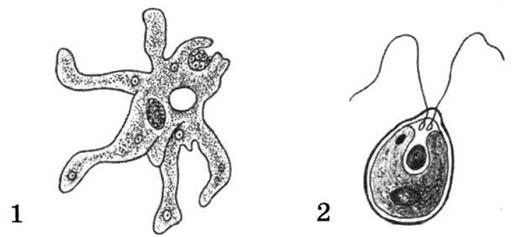 Амеба и хламидомонада