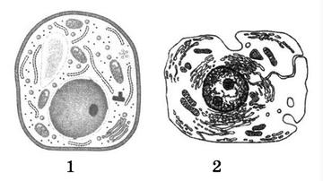 Грибная и растительная клетки