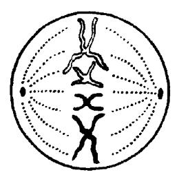 Метафаза митоза