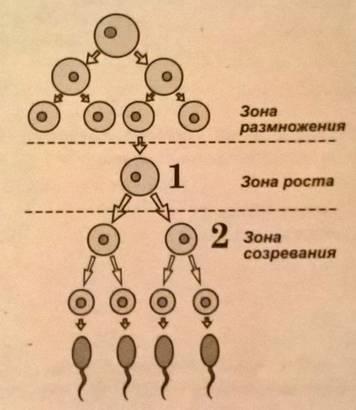 Сперматогенез