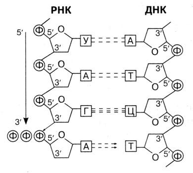ДНК, РНК