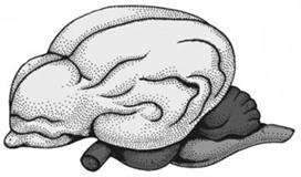 Мозг млекопитающего