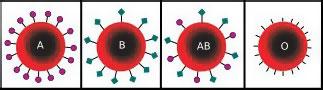 Антигены групп крови