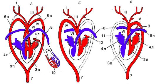 Кровеносные системы зверей и